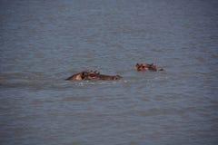 Hippo op safari Tanzania Stock Foto's