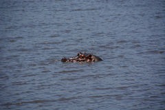 Hippo op safari Tanzania Royalty-vrije Stock Foto's