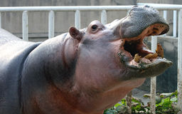 Hippo Open the big mouth Stock Photo