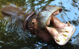 Hippo open the big mouth Royalty Free Stock Image