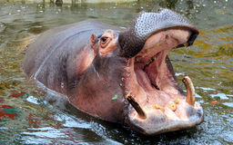 Hippo open the big mouth Royalty Free Stock Photos