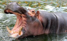 Hippo open the big mouth Royalty Free Stock Photo