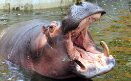 Hippo open the big mouth Royalty Free Stock Photography