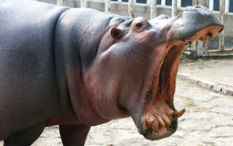 Hippo open the big mouth Stock Image