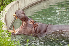 Hippo open his mouth in the water. Hippopotamus. Hippo open his mouth in the water Stock Image