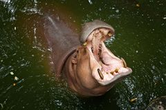 Hippo open his mouth in the water. royalty free stock photography
