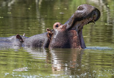 Hippo with open mouth Royalty Free Stock Images