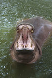 Hippo open mouth. Standing in water pool Stock Photo