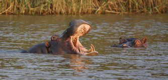 Hippo with Open Mouth and Teeth. Huge hippo with mouth wide open showing massive gape and incisor teeth Stock Images