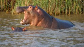 Hippo with Open Mouth and Teeth. Huge hippo with mouth wide open showing massive gape and incisor teeth Stock Image