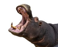 Hippo opening jaws. Head closeup. White background royalty free stock photo