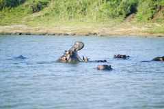Hippo opening mouth in a sequence of shots in the Greater St. Lucia Wetland Park World Heritage Site, St. Lucia, South Africa Royalty Free Stock Photography