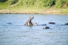 Hippo opening mouth in a sequence of shots in the Greater St. Lucia Wetland Park World Heritage Site, St. Lucia, South Africa Stock Photos
