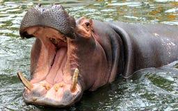 Hippo opent de grote mond stock foto's