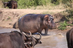 Hippo out of water Stock Photos