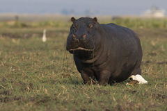 Hippo out of water Royalty Free Stock Photos