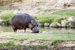 Hippo out of the water Royalty Free Stock Images