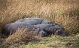 Hippo out water in South Africa Royalty Free Stock Photos