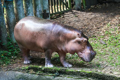 Hippo out of water Royalty Free Stock Photography