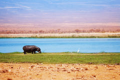 Hippo out of water walking in grass, Kenya, Africa Royalty Free Stock Photography