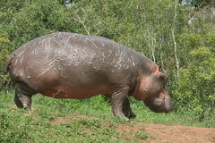 Hippo out of water. The Hippo was out of the water next to the river Stock Photos