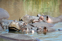 Hippo with oxpecker. At Kruger National Park, South Africa Royalty Free Stock Photo