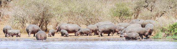 Hippo panorama. Panorama with hippos on riverbank. Picture was taken in Kruger National park, South Africa Royalty Free Stock Images