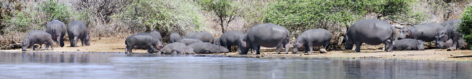Hippo panorama. Panorama with hippos on riverbank. Picture was taken in Kruger National park, South Africa Royalty Free Stock Photo