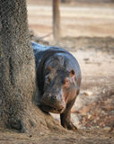Hippo peeking Royalty Free Stock Photography