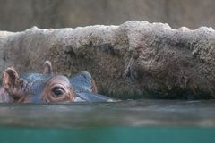 Hippo peeking from water Stock Photography