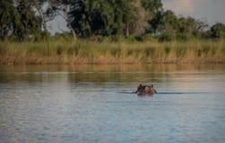 Hippo peering from the water in the Okavango Delta stock photo