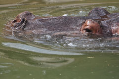 Hippo peers up out of the water of Africa Royalty Free Stock Photography