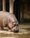 Hippo Stock Photos