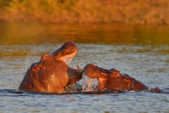 Hippo playing in river stock image