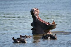 Hippo pod Royalty Free Stock Photos
