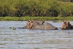 Hippo pod Royalty Free Stock Image