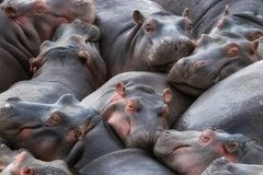 Hippo pod resting in the Mara River. A pod of hippos, Hippopotamus amphibius, huddle together in the Mara River, Masai Mara, Kenya royalty free stock photography