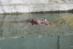 Hippo in pond royalty free stock photos