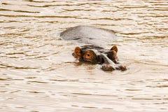 Hippo. At the  Pond in Massai Mara, Kenya stock image