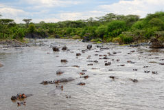 Hippo pool Stock Photography
