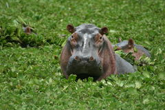 Hippo pool Royalty Free Stock Photo