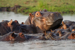 Hippo pool, Botswana. Hippopotamuses with dominant male towering over the rest, Chobe River, Chobe National Park, Botswana, Africa Royalty Free Stock Images