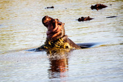 Hippo porpoising Stock Photo