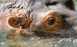 Hippo portrait Royalty Free Stock Photo