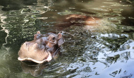 Hippo portrait Stock Images