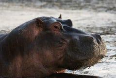 Hippo portrait Royalty Free Stock Photography