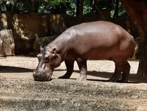 Hippo portrait Royalty Free Stock Photo