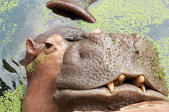 Hippo portrait in the nature Royalty Free Stock Images