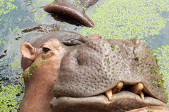 Hippo portrait in the nature Royalty Free Stock Photos