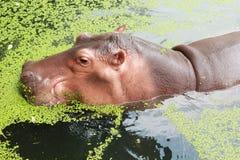 Hippo portrait in the nature Stock Photo